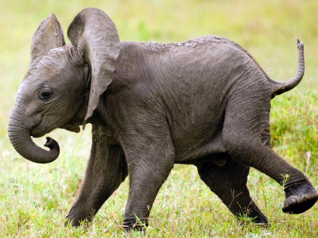 Пазл Собирать пазлы онлайн - Слонёнок