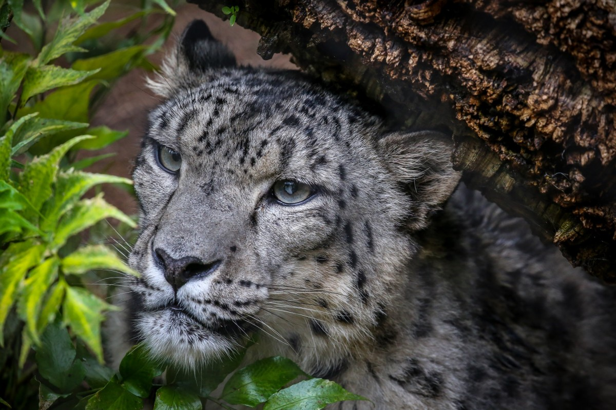 Пазл Собирать пазлы онлайн - Snow Leopard