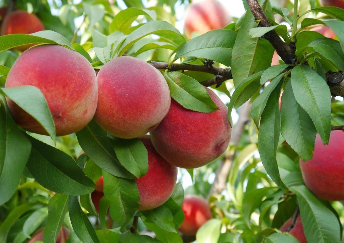 Пазл Собирать пазлы онлайн - Спелые персики