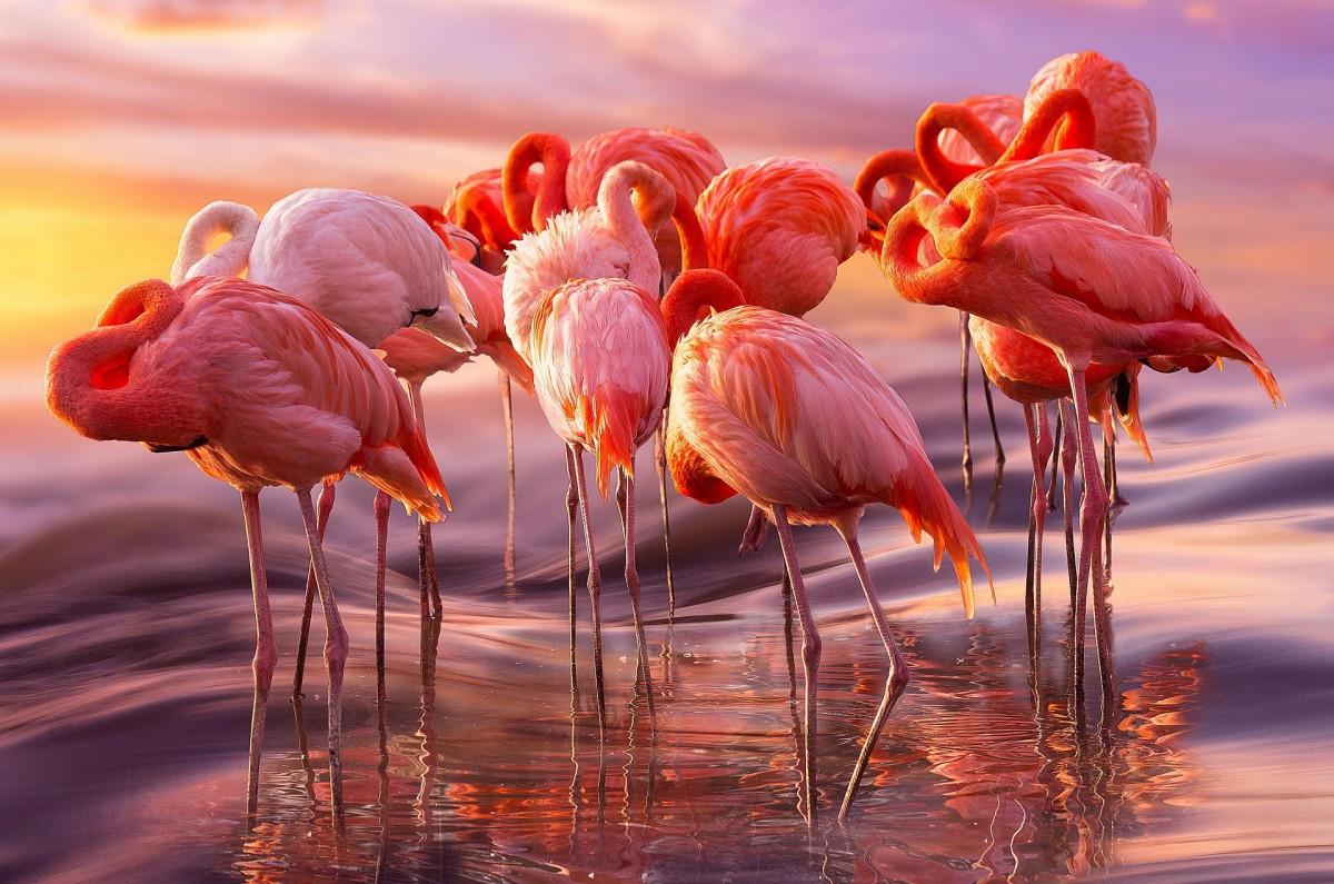 Пазл Собирать пазлы онлайн - Стая фламинго