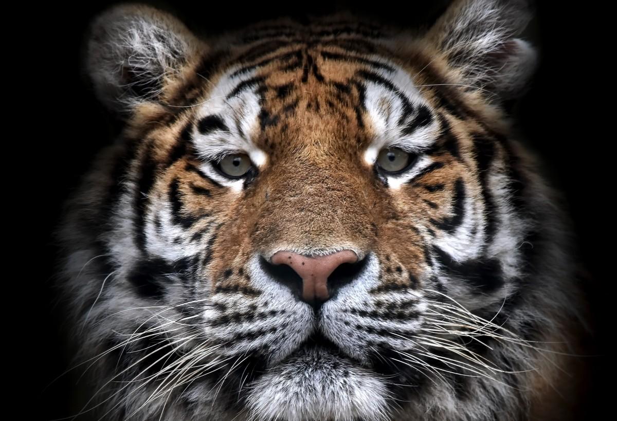 Пазл Собирать пазлы онлайн - Тигр из тьмы