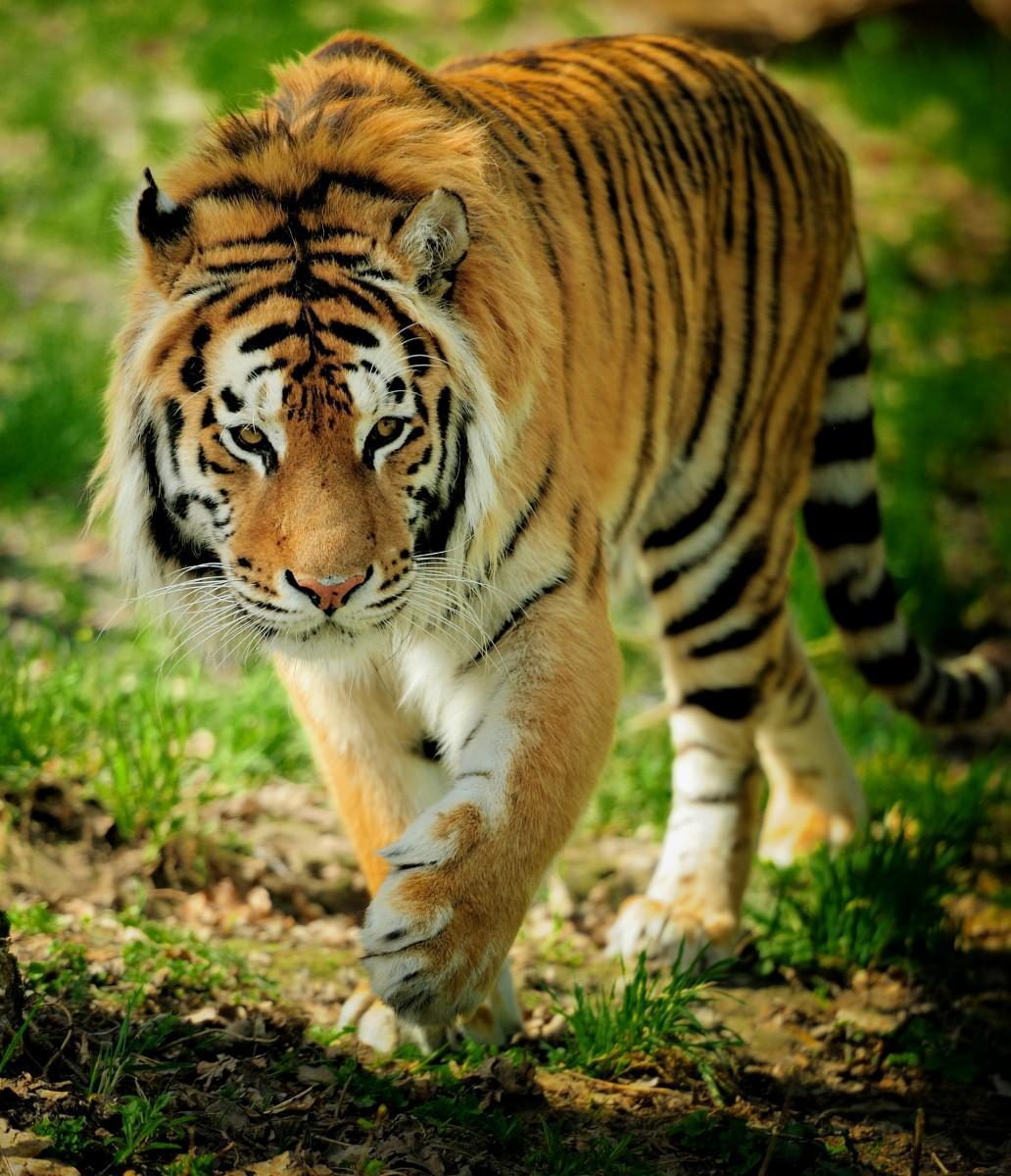 Пазл Собирать пазлы онлайн - Тигр на тропе