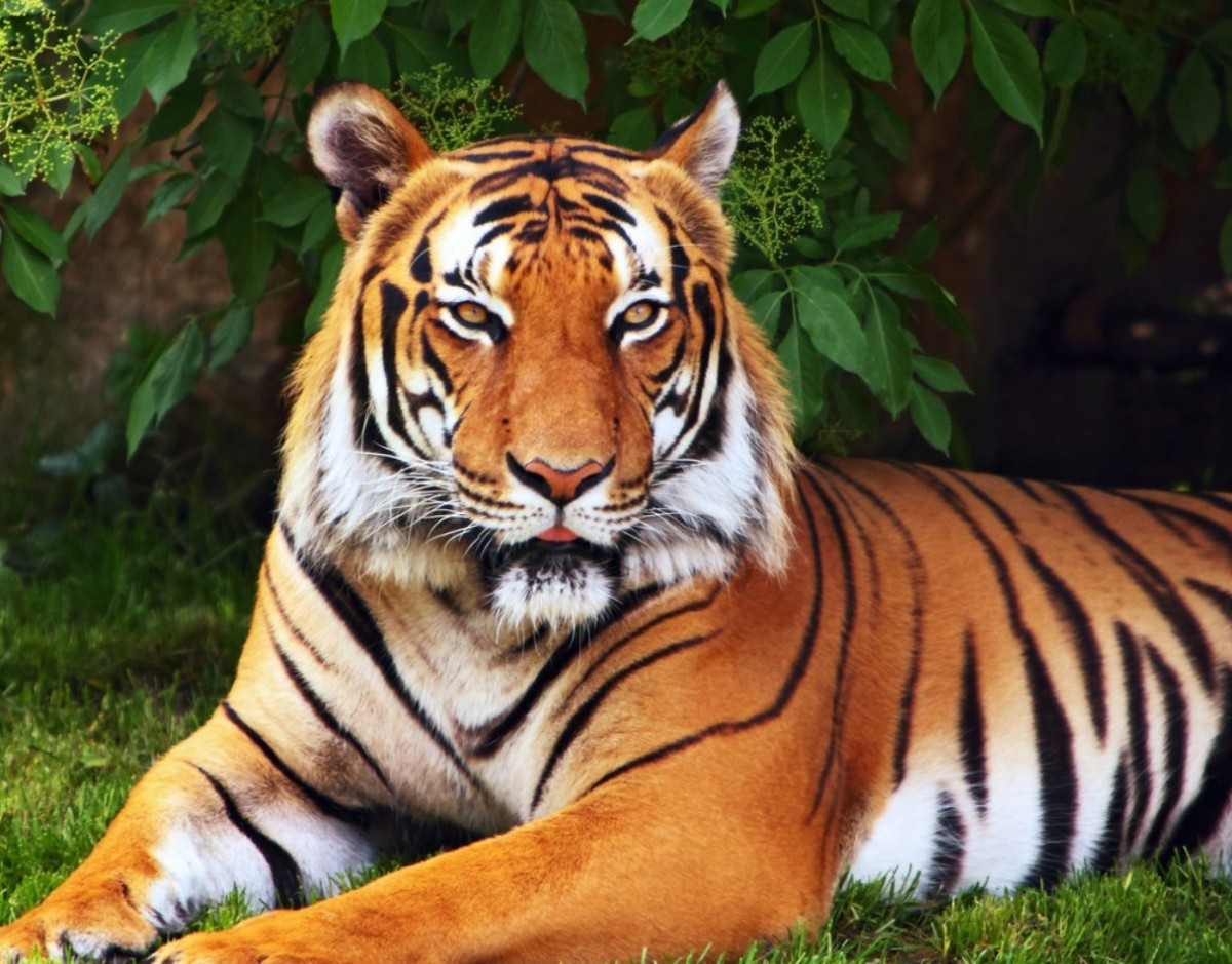 Пазл Собирать пазлы онлайн - Тигр отдыхает