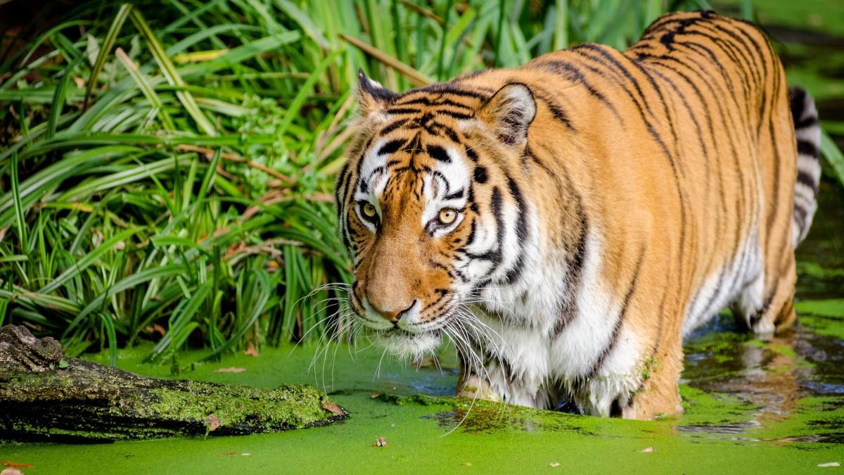 Пазл Собирать пазлы онлайн - Тигр в воде