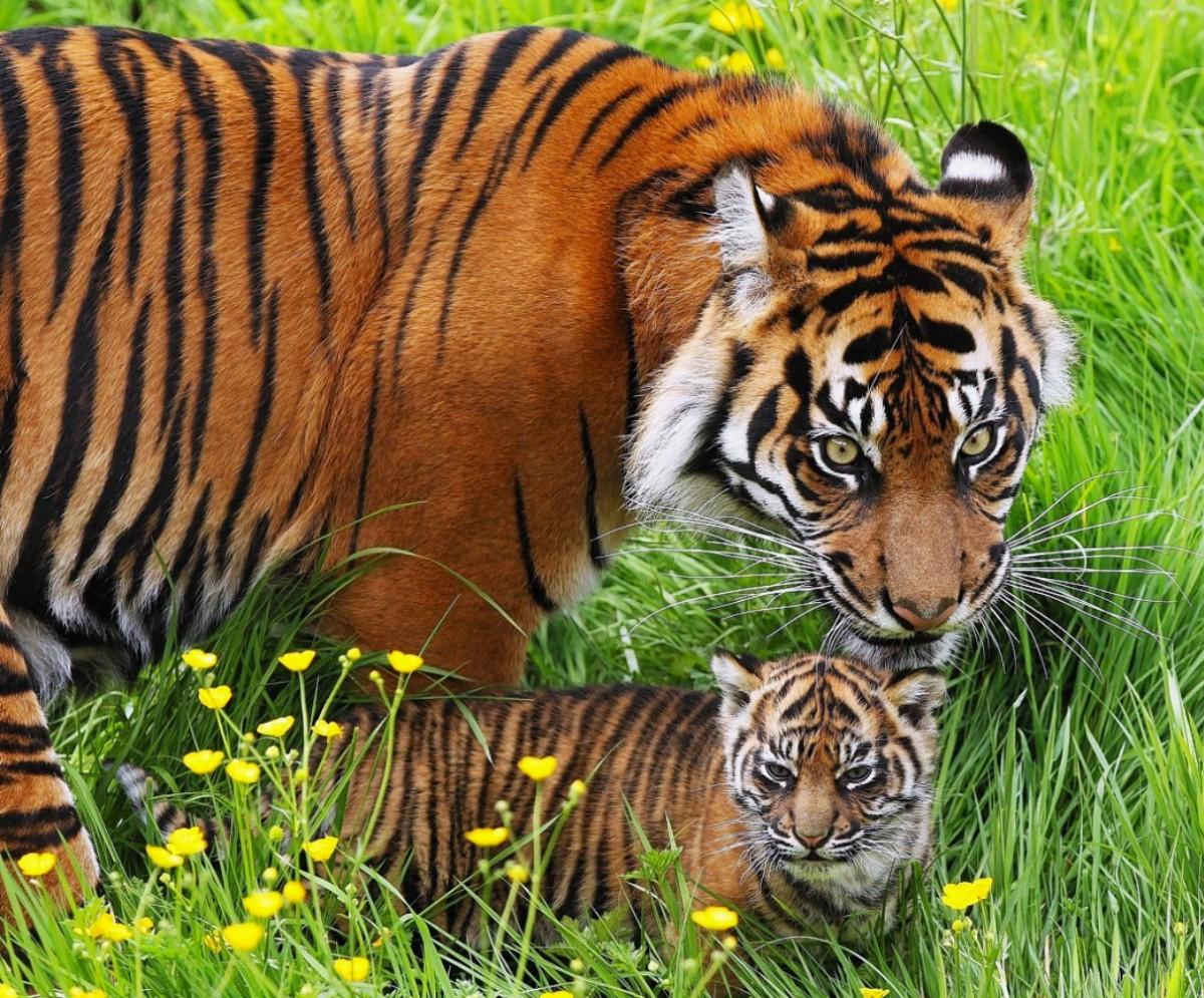Пазл Собирать пазлы онлайн - Тигры в траве