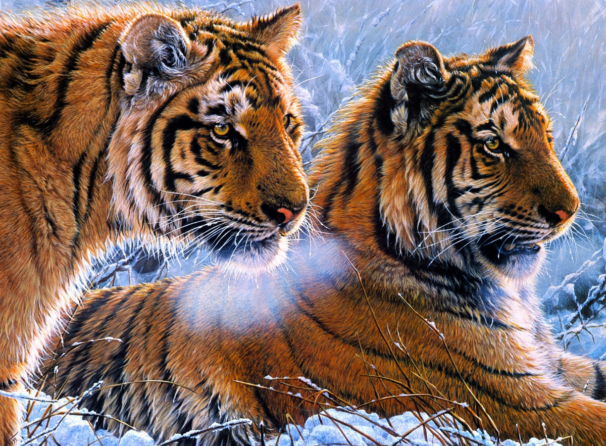 Пазл Собирать пазлы онлайн - Тигры зимой