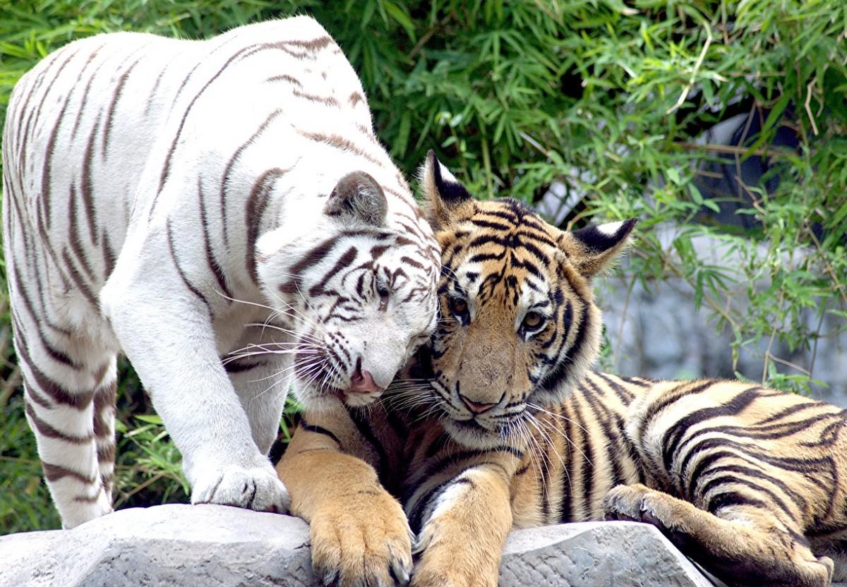 Пазл Собирать пазлы онлайн - Тигриная нежность