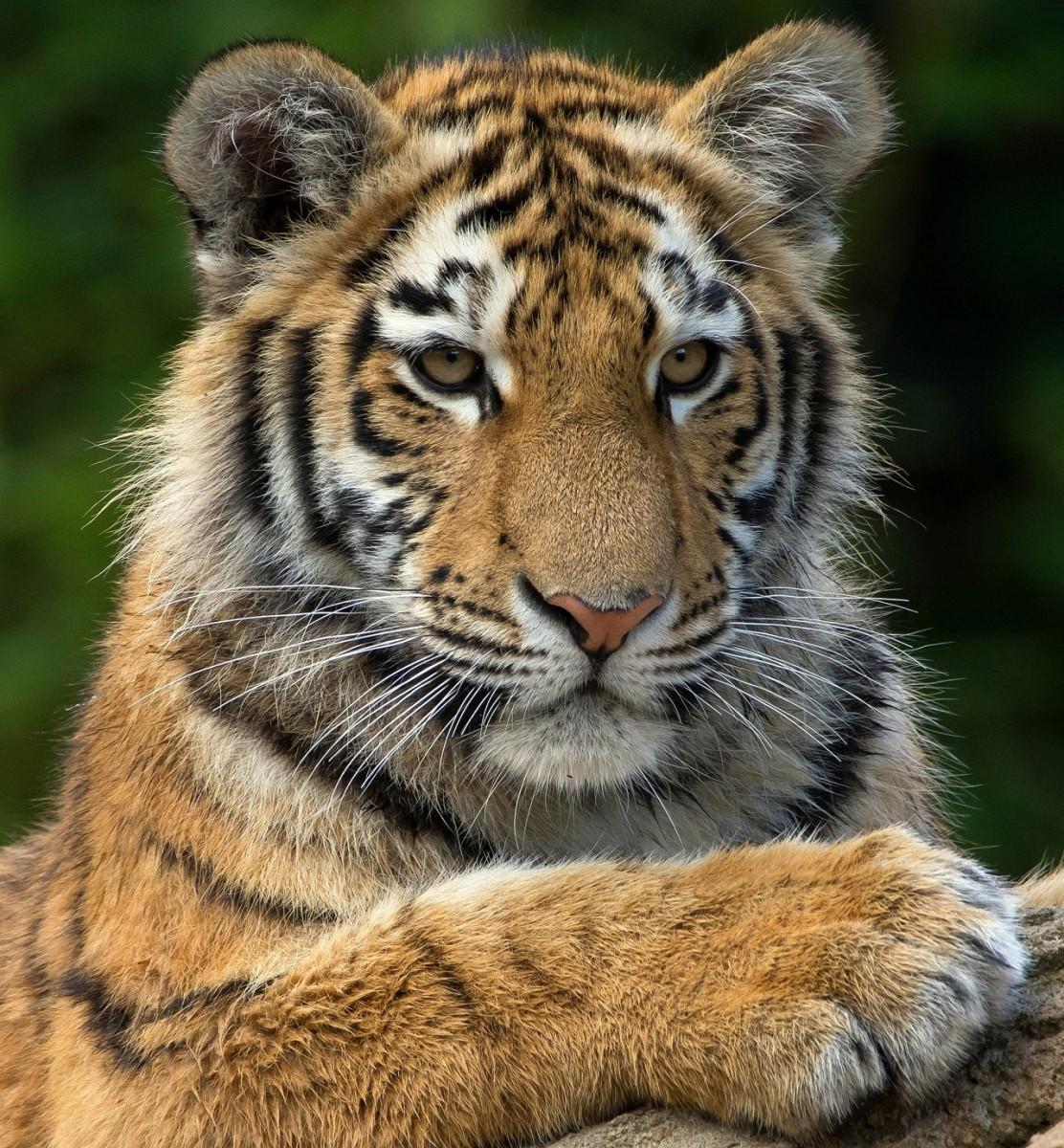 Пазл Собирать пазлы онлайн - Тигриный портрет