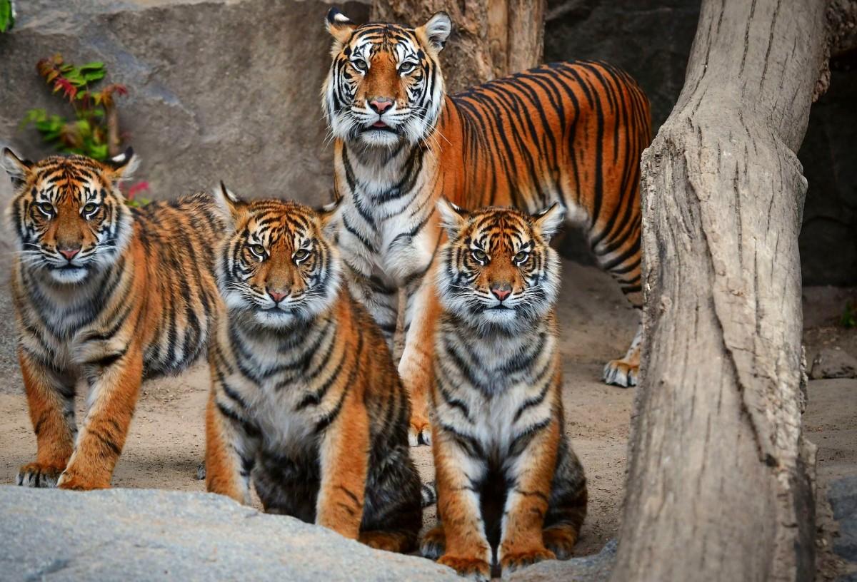 Пазл Собирать пазлы онлайн - Тигрица с тигрятами
