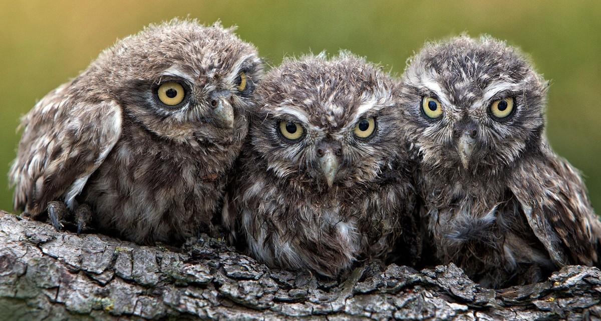 Пазл Собирать пазлы онлайн - Три совёнка