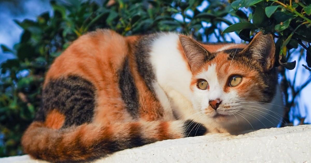Пазл Собирать пазлы онлайн - Трёхцветная кошка