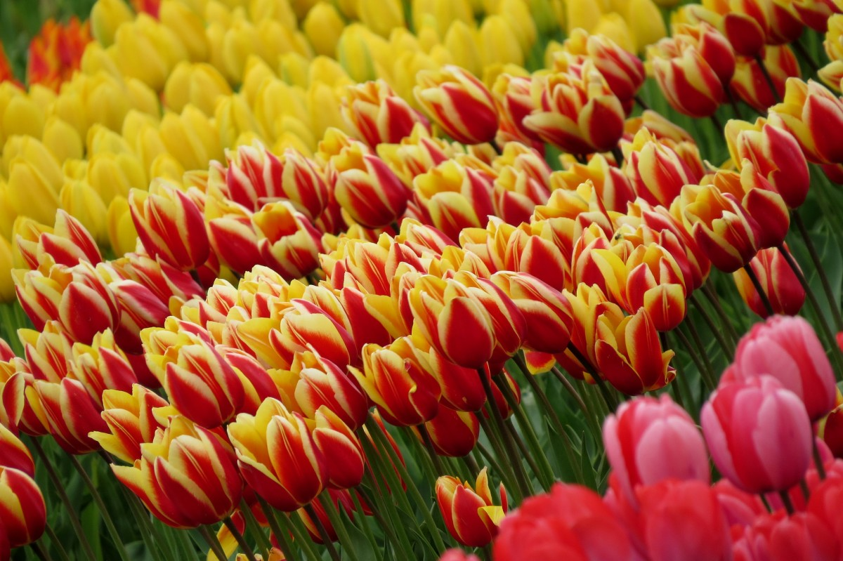 Пазл Собирать пазлы онлайн - Тюльпаны