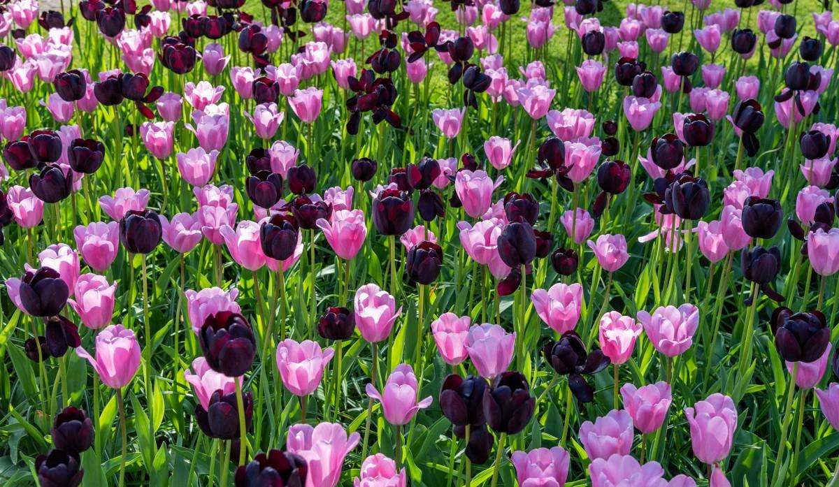 Пазл Собирать пазлы онлайн - Тюльпаны двух цветов