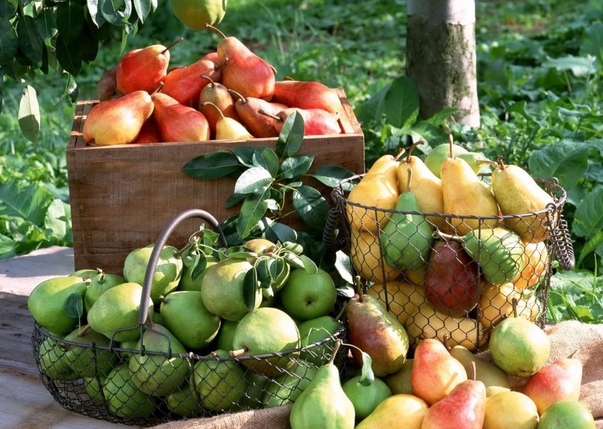 Пазл Собирать пазлы онлайн - Урожай груш