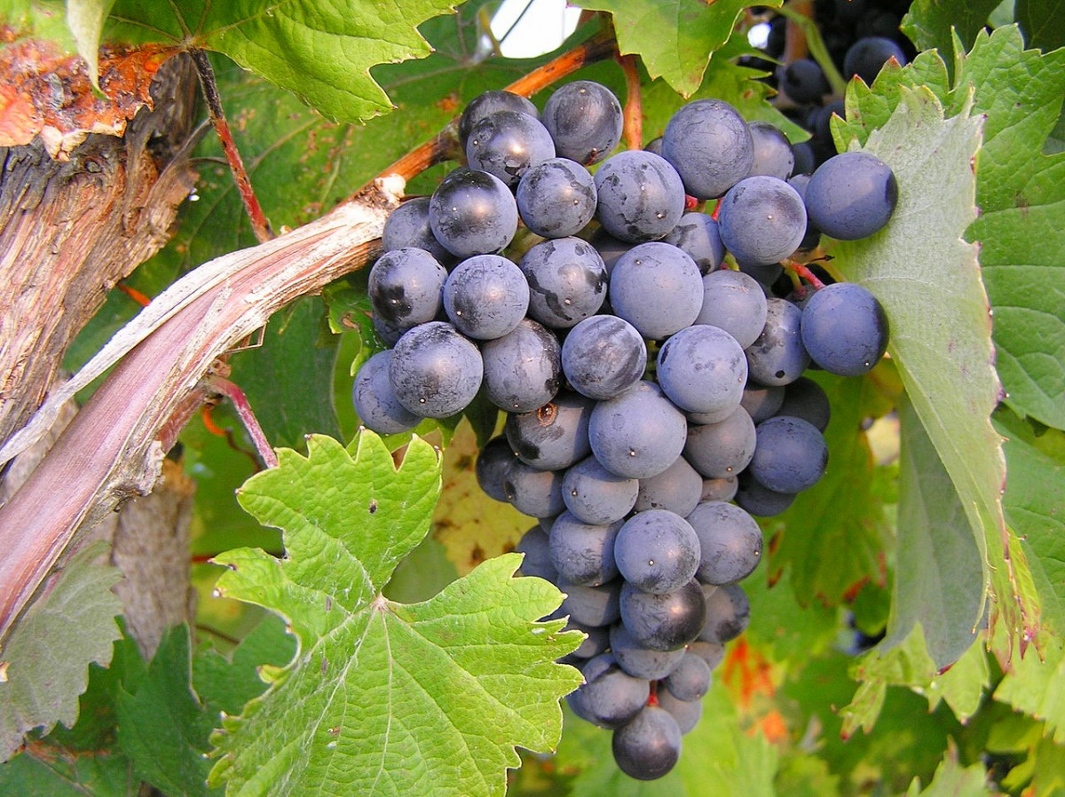 Пазл Собирать пазлы онлайн - Виноград на ветке