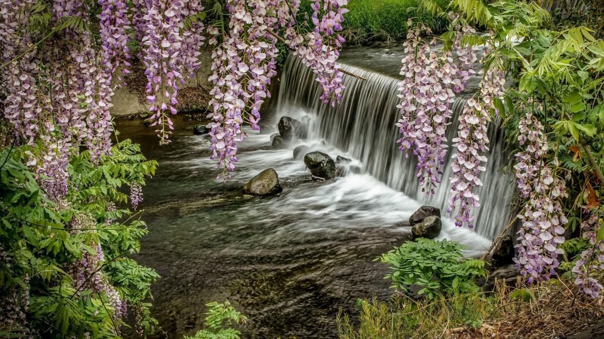 Пазл Собирать пазлы онлайн - Водопад и глициния