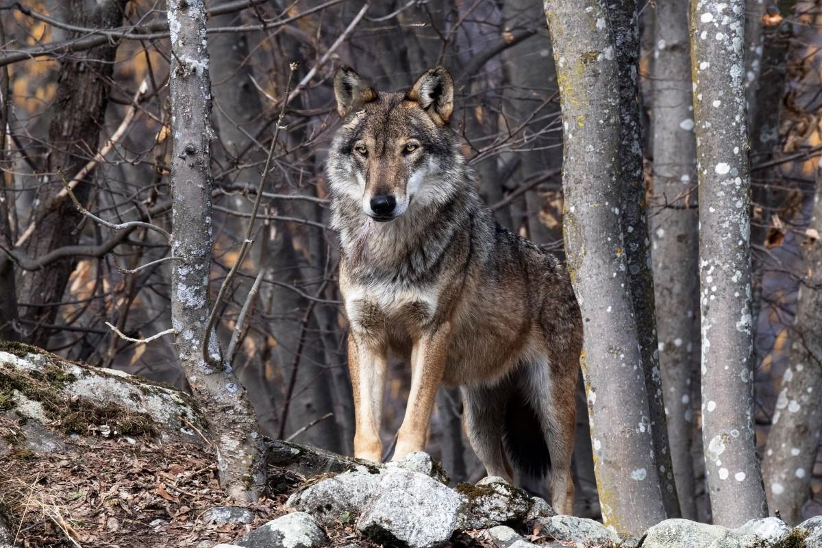 Пазл Собирать пазлы онлайн - Волк в лесу