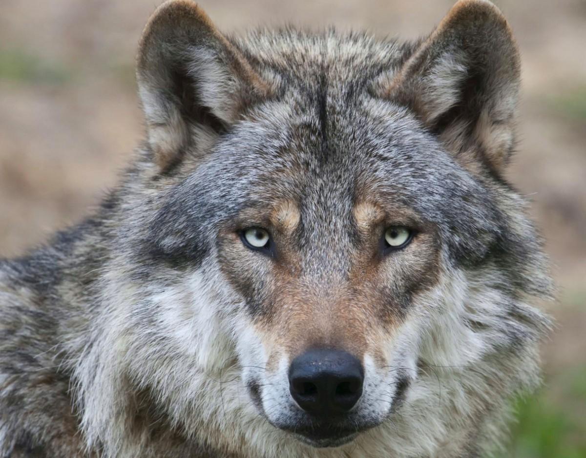 Пазл Собирать пазлы онлайн - Взгляд волка