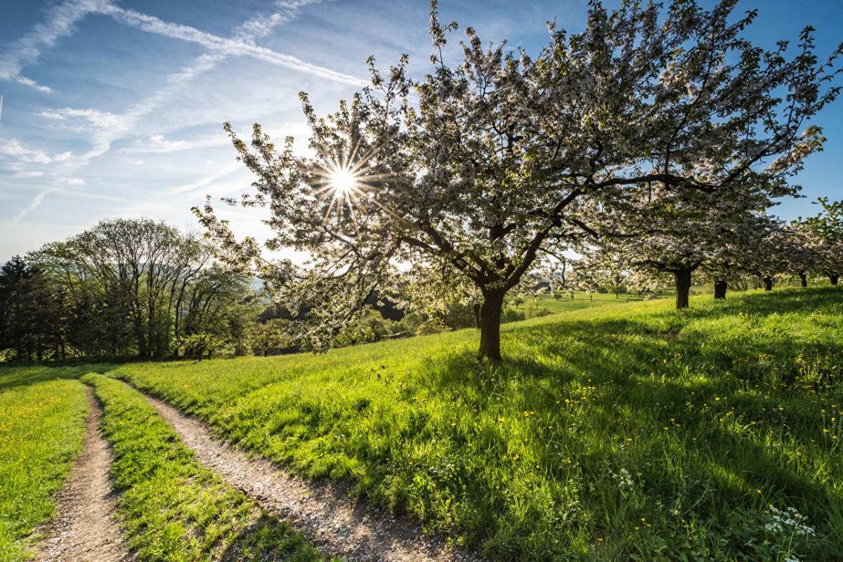 Пазл Собирать пазлы онлайн - Яблоневый сад