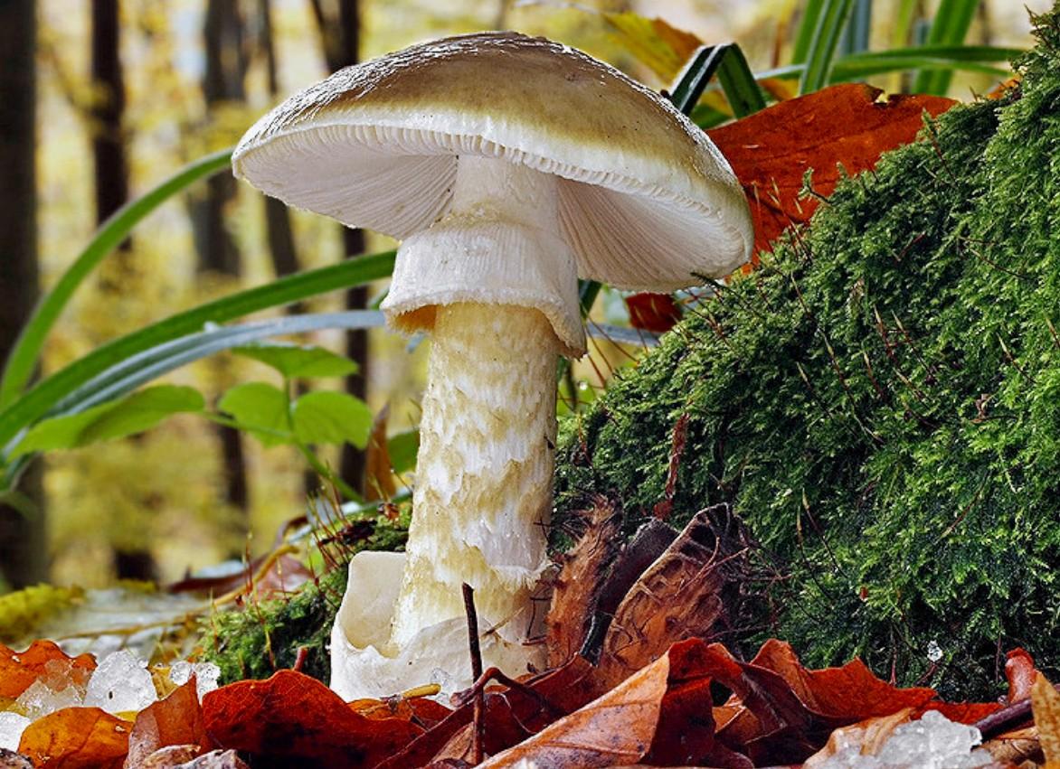 Пазл Собирать пазлы онлайн - Ядовитый гриб