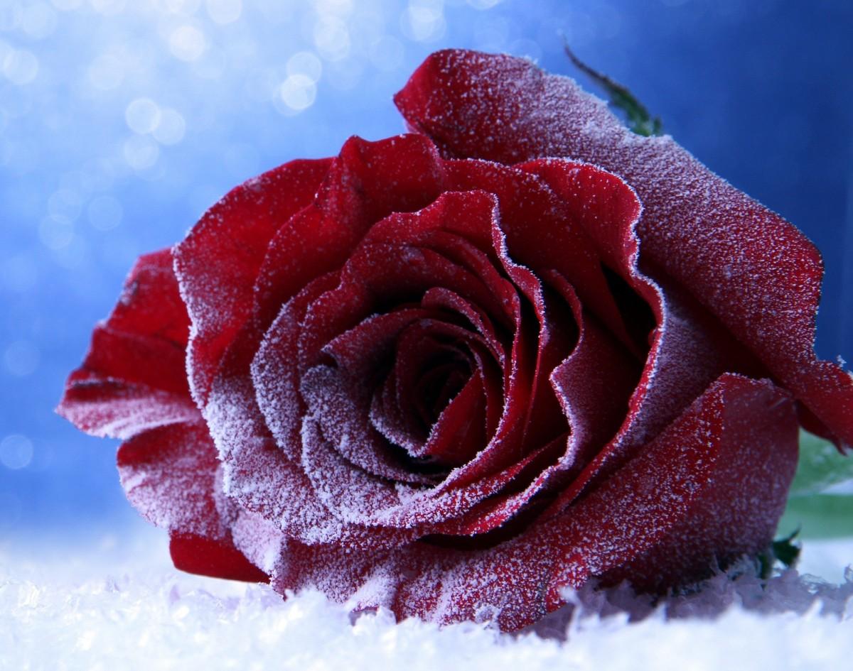 Пазл Собирать пазлы онлайн - Зимняя роза