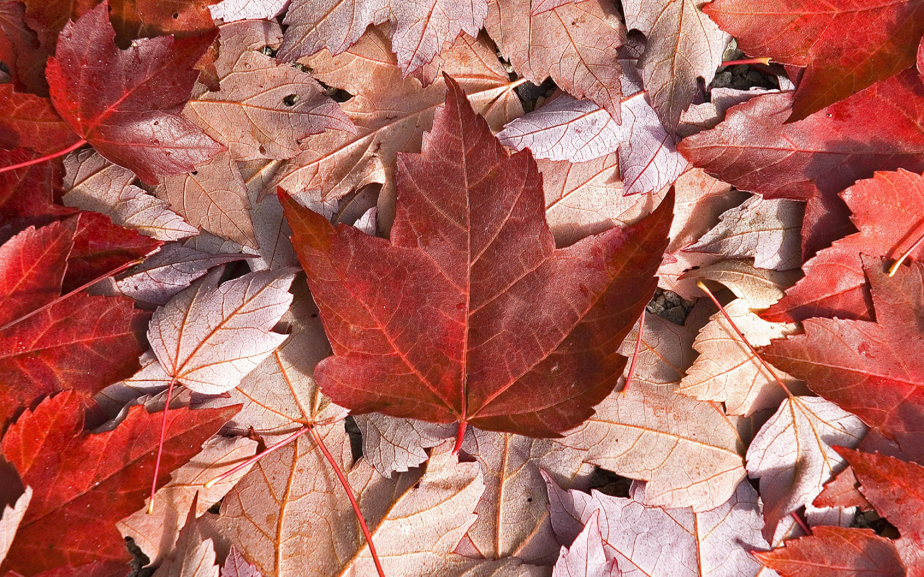 canadian maple leaf images - HD1920×1080