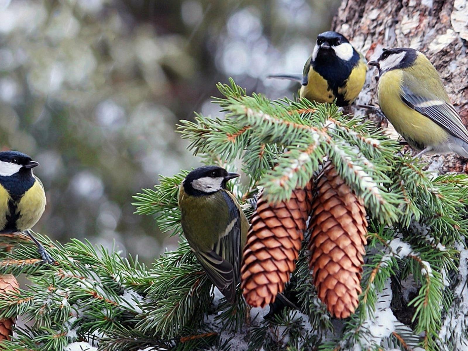 Птички на сосновых ветках скачать