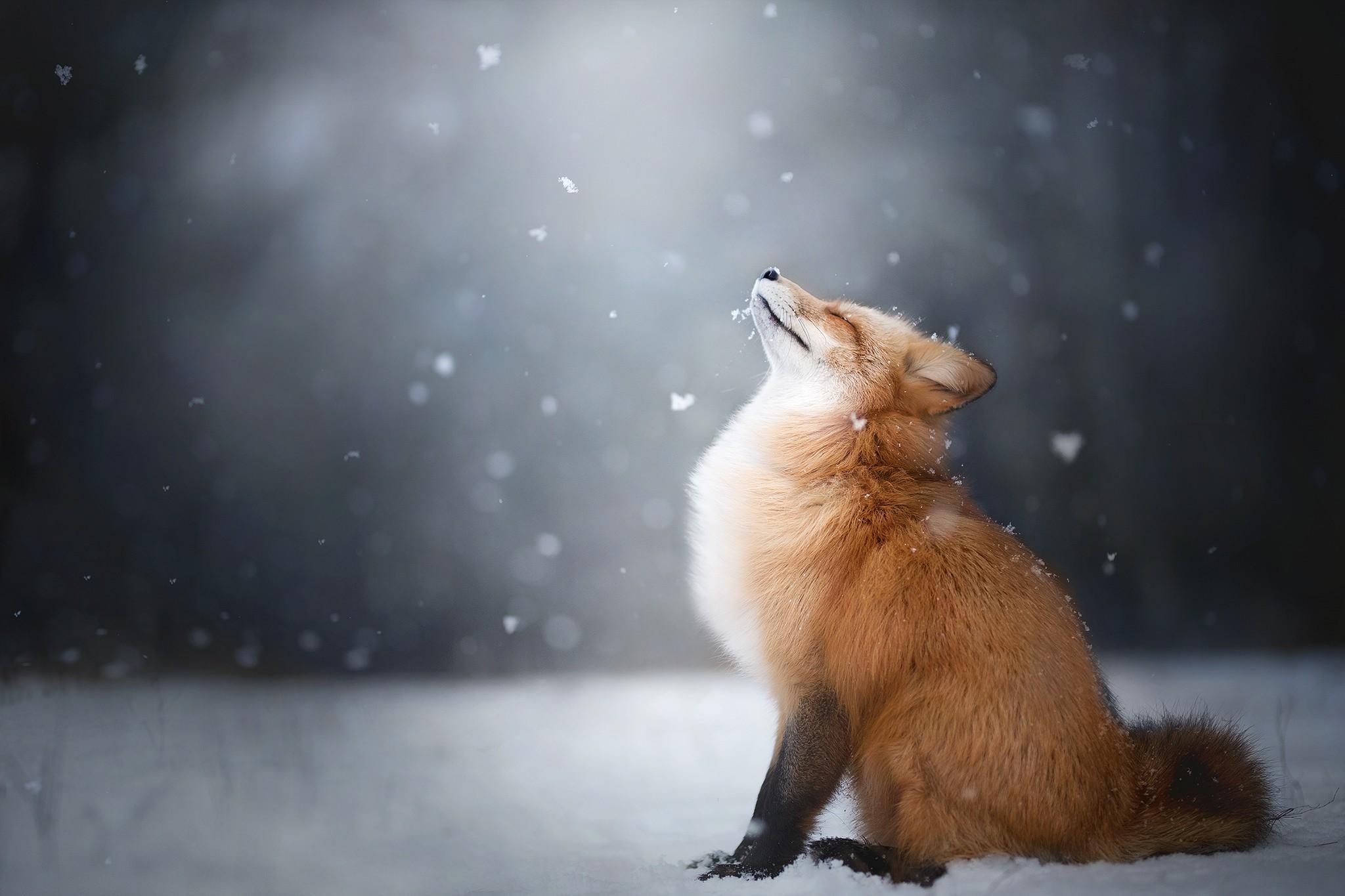 Лисенок на снегу бесплатно