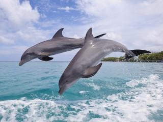Собирать пазл 2 дельфина онлайн