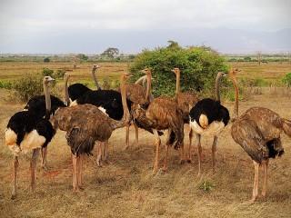 Собирать пазл Африканские страусы онлайн