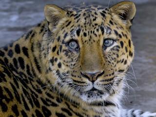 Собирать пазл Амурский леопард онлайн