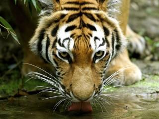 Собирать пазл Амурский тигр онлайн