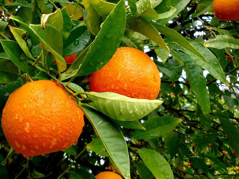 Пазл Собирать пазлы онлайн - Апельсин