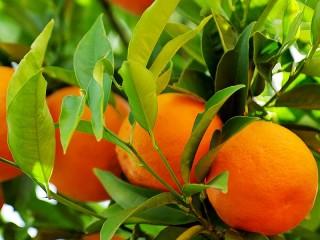 Собирать пазл Апельсиновая ветка онлайн
