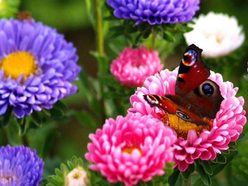 Пазл Собирать пазлы онлайн - Астры и бабочка