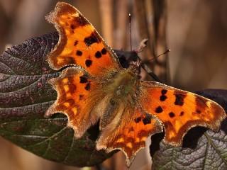 Собирать пазл Бабочка онлайн