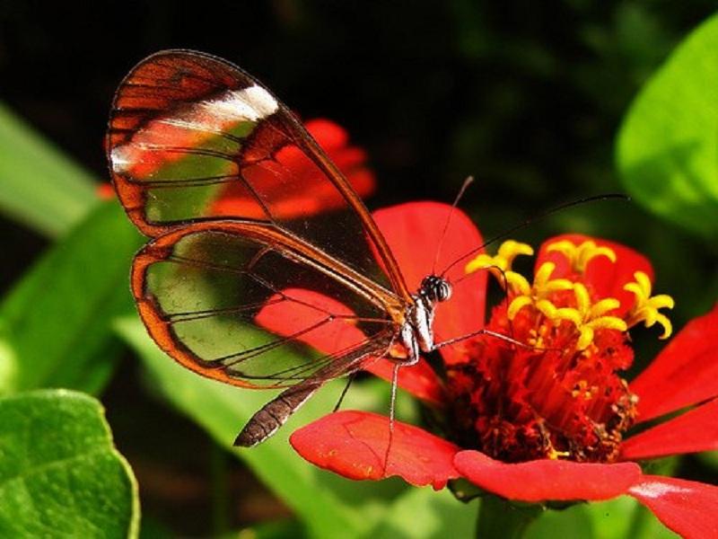 Пазл Собирать пазлы онлайн - Бабочка
