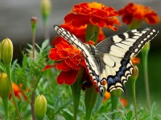 Собирать пазл Бабочка и бархатцы онлайн