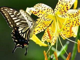 Собирать пазл Бабочка и лилия онлайн