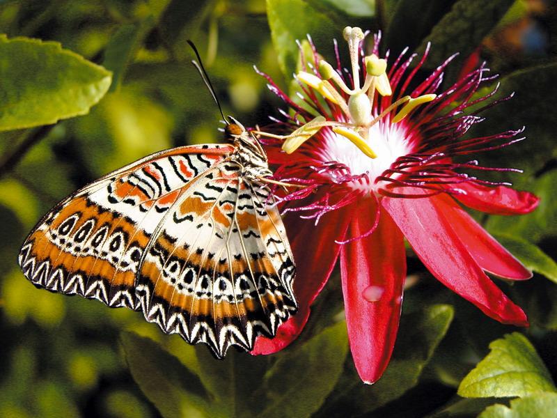 Пазл Собирать пазлы онлайн - Бабочка и пассифлора