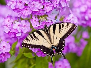 Собирать пазл Бабочка на флоксе онлайн