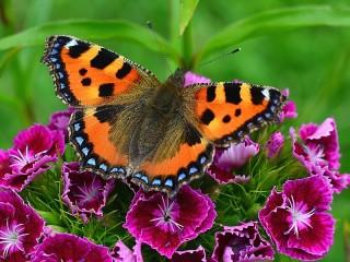 Собирать пазл Бабочка на гвоздике онлайн