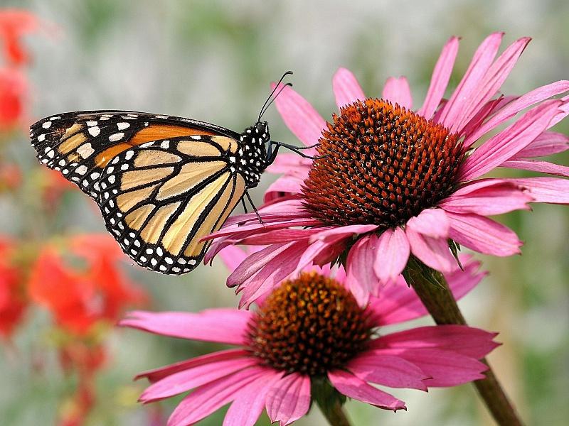 Пазл Собирать пазлы онлайн - Бабочка на цветке