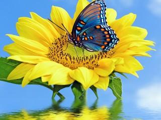 Собирать пазл Бабочка на цветке онлайн