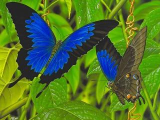 Собирать пазл Бабочка парусник онлайн