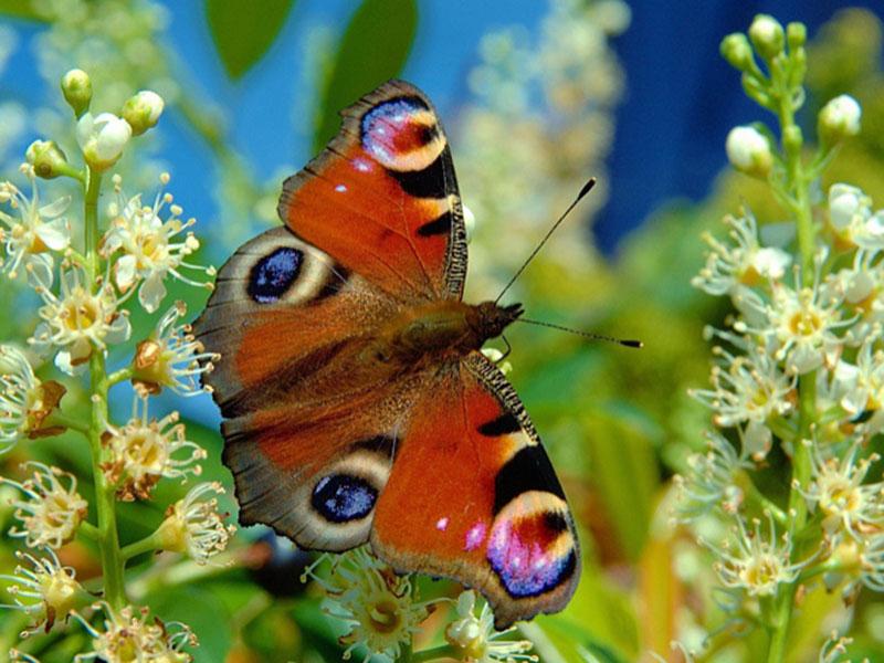 Пазл Собирать пазлы онлайн - Бабочка в цветах