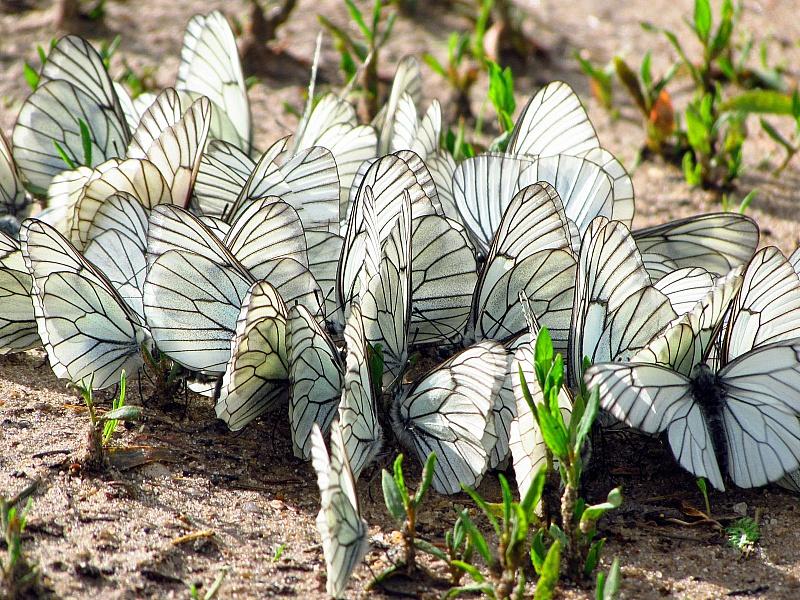 Пазл Собирать пазлы онлайн - Бабочки