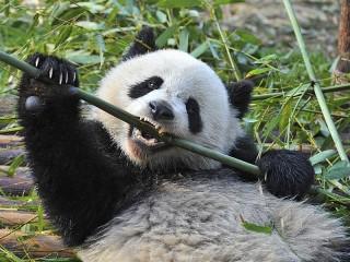 Собирать пазл Бамбук-еда панды онлайн