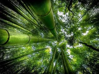 Собирать пазл Бамбуковый лес онлайн