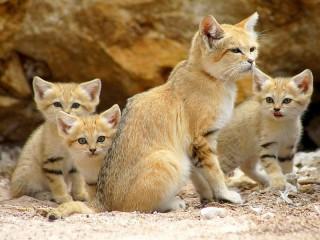 Собирать пазл Барханная кошка онлайн
